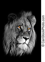 retrato, león, africano