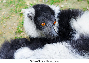 retrato, lemur, madagascar, ruffed