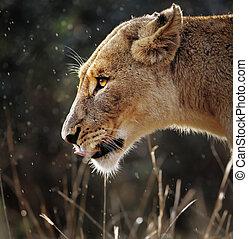 retrato, leona, lluvia