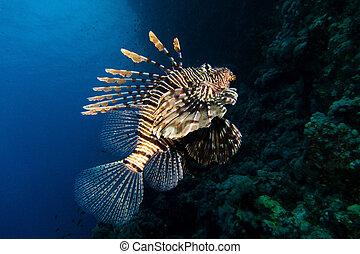 retrato, lionfish