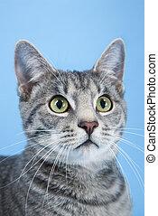 retrato, listrado, cat., cinzento