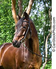 retrato, ob, hermoso, caballo