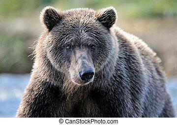 retrato, oso pardo, bear.