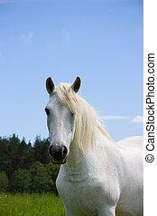 retrato, prado, cavalo branco