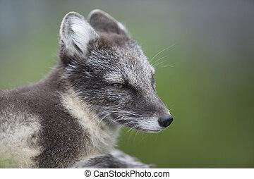 retrato, raposa ártica