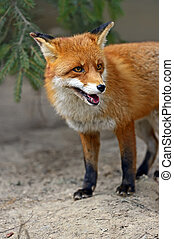 retrato, raposa, natural, habitat