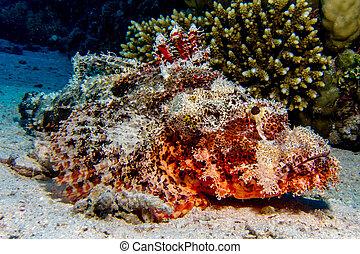 retrato, scorpionfish