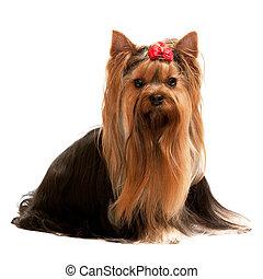 retrato, terrier de yorkshire, simpático