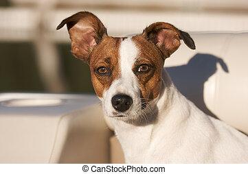 retrato, terrier, gato russell