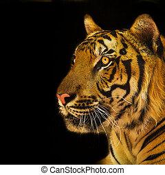 retrato, tigres, amur