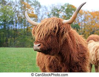 retrato, vaca, escocés