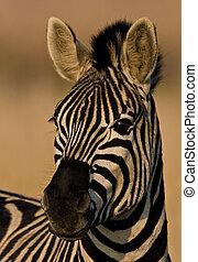 retrato, zebra, burchells