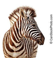 retrato, zebra, isolado