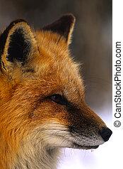 retrato, zorro, rojo