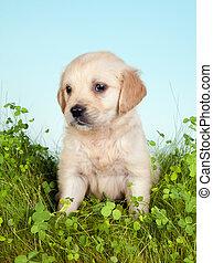 Retriever dog on grass