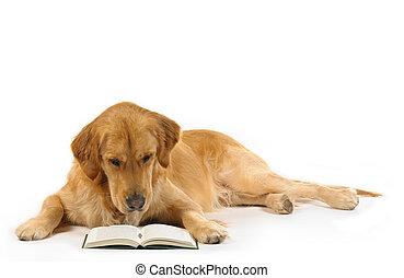 retriever doré, lire, a, livre