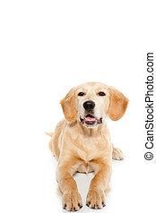 retriever dourado, cão, filhote cachorro, isolado, branco