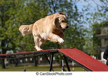 retriever dourado, fazendo, cão, agilidade