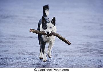 retrieving dog
