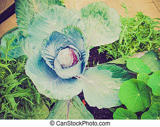 Retro look Cabbage