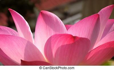 retroilluminato, loto, petali