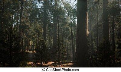 reus, nationaal bos, sequoia, park, ondergaande zon , ...