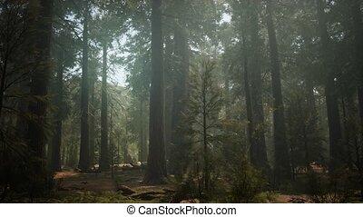 reus, nationaal park, bos, ondergaande zon , sequoia, ...