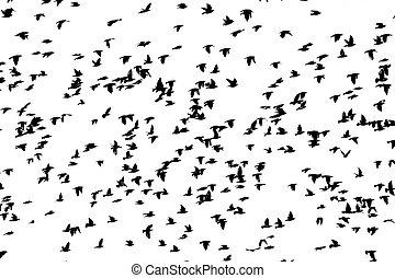reusachtig, vliegen, vrijstaand, vogels, witte , vlucht