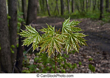 Reveal the young leaves of maple.