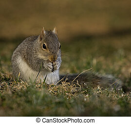 Reverent squirrel - Tree squirrel that is eating but it...
