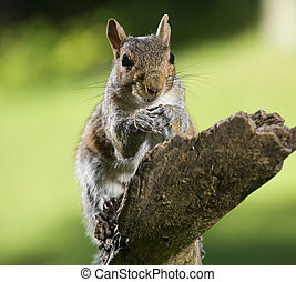 Reverent squirrel - Tree squirrel out on a limb that looks...