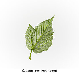 reverse structural side of a green raspberry leaf on a white background