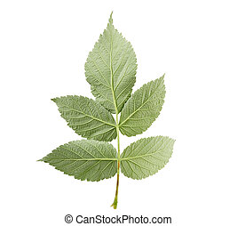 reverse structural side of a green raspberry leaf