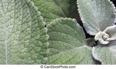 review of large shaggy leaves of green plant from left to...