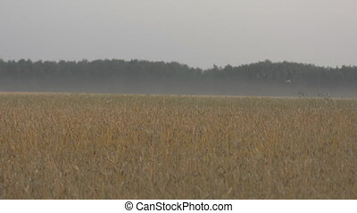 Review of the wheat field horizon in the evening. Background...