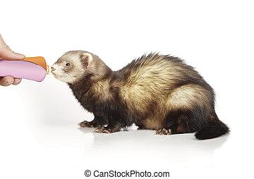 Rewarding ferret on reflective white background