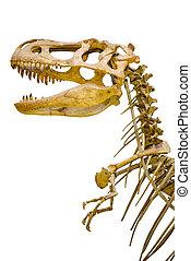 rex, esqueleto, fragmento, isolado, tyrannosaurus, fundo, branca
