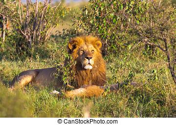 rey,  Mara, león,  Masai,  áfrica, resto, pasto o césped, retrato, kenia