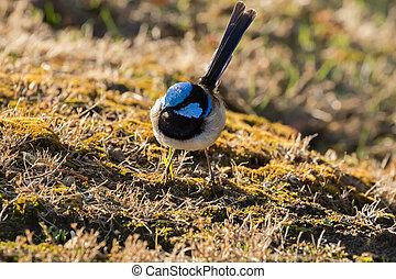 reyezuelo, australia, tasmania, alimento, superb, macho, hada, tarde, reyezuelo, forraje, pájaro, azul