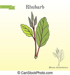 rhabarbarum, plante, rhubarbe, rheum, culinaire, médicinal