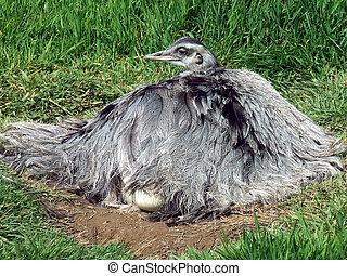 rhea, auf, nest