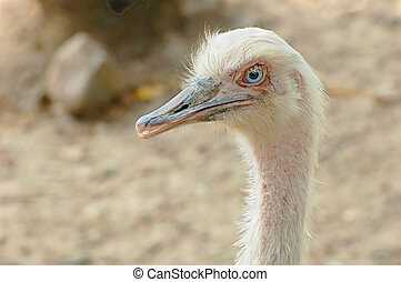 Head and neck of a white rhea bird