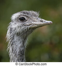 close up and detailed head portrait of a Rhea in square format looking to right