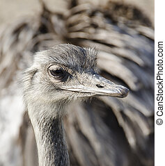 Rhea, Rhea americana in day light with focus on the head
