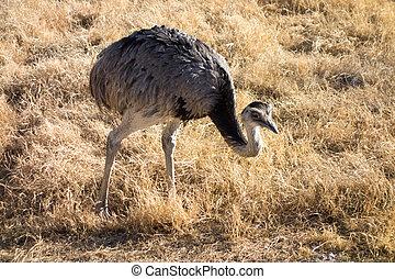 Rhea, South American Ostrich - Common Rhea, the largest bird...