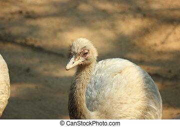 rhea, thailand, vogel, größer, zoo