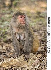 rhesus, macaco, el, best-known, especie, de, monos de viejo...