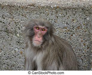 rhesus, macaco, en, heidelberg, zoo, alemania