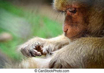 rhesus, macaco