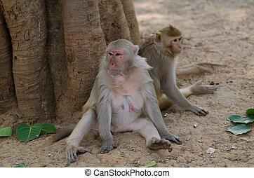 rhesus, macaco, mono